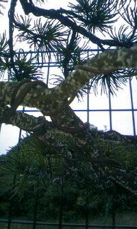 五葉松の病気? 五葉松の幹枝に画像の様な白い綿みたいなものが全体に付いてきました。病気でしょうか? 対処法があればご教授下さい。