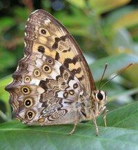 【タテハチョウ科】この蝶の種類は何ですか? ジャノメチョウ?ヒョウモンチョウ? タテハチョウの種類は色々見ているのですが、本当に見分けがつきません… しかし気になって写真を撮ってしまいます… 片翅長は3~4cm程でやや大型、特徴は蛇の目模様。 色はビターな感じで画像から判断出来ませんか? 詳しい方、宜しくお願いします。