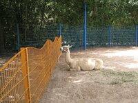 添付した写真の動物は、なんでしょうか? フロリダのウォルトディズニーワールド内で見つけました。 動物園ではないので、とくに動物名は書いてありません。 アルパカかと思いましたが、帰ってきて調べたら違う...