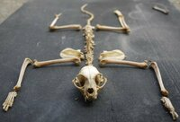 謎の白骨化動物!? 数日前、納屋の2階で白骨化した動物を発見しました。猫?ムササビ?ハクビシン?新種? 興味のある方、ご存知の方はご回答ください!