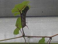 この虫、なに? 我が家のぶどうの葉に、数日前からいます。 大人になったら、何になりますか?  息子が蛾になるというのですが、これが蛾になったら結構大きくなりますよね?