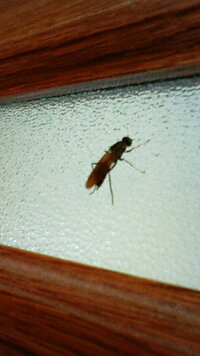 この虫はなんですか(・・?)   ハエ?ハチ?アリ? 2センチくらいで真っ黒で最近家の中をブンブン飛んでます。 お尻に針らしきものがついてます が刺したりするのか何もわからずで子供達が怖がっています。  どなたか、知ってる方がいたら教えて下さい(><) 宜しくお願いします