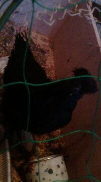 この烏骨鶏の性別を教えてください。  5月中旬に生まれた黒烏骨鶏です。 ピヨピヨがコッコッと変わりました。 とさかはほとんど出ておらず(盛り 上がっていなく)、上から見た形はトランプのダイヤのようです。  雌っぽいのですが、毛冠が若干後ろに流れてます。  この烏骨鶏は雄でしょうか。雌でしょうか