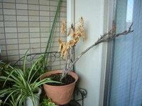 牡丹が枯れてしまいました。どうすれば復活できますか? 1本の幹から2本に枝分かれしている牡丹の木を直径約40cmの鉢植えで育てています。 ここ10年ほど(肥料の量に応じて)毎年1~4つの花が咲いていました。 今年はまったく肥料をやらなかったのですが、順調に葉が伸び、1つですがつぼみも付きました。 しかし、5月になっても花は咲かずにつぼみだけがそのまま茶色く枯れてしまい、今年はとうとう花...