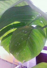 観葉植物に白い粉のようなものが付いています。この駆除方法はどうしたらよいのでしょう? 社内に観葉植物があるのですが、この植物に白い粉のようなものが付いており元気がなくなっています。  白い粉のようなものは主に葉の表や裏に付いているのですが、茎などにも付いています。 また白い粉のようなものを指で触ると粘つく感じです。  一旦濡れ雑巾等で綺麗にしたのですが、再び白い粉のようなものが出て...