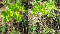 この植物の名前が知りたいです 葉しかないので若干無理がある気がしますが・・・  最近撮ったものでトウダイグサやネコノメソウに似ています。茎や根基に葉は無く 頭頂部のみの葉がついていて、茎にはうっすら軟毛が生えてます。