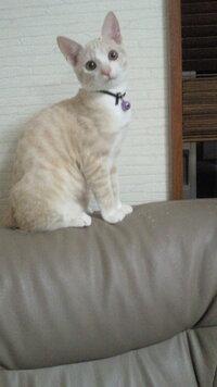 クリーム色の捨て猫 2ヶ月くらい前にクリーム色をした子猫を保護しそのまま飼っています。 初めからなついて来たので捨て猫だと思うのですが、あまりクリーム色の猫って見かける事がないので珍しいのでしょうか...