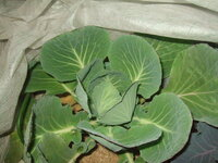 キャベツを育てているのですが、 葉の淵と加賀紫色になることがあります。 あれは何なのでしょうか。