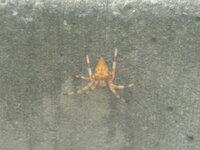 このカラフルな蜘蛛について教えてください。 寒い北海道で、あまりカラフルな虫を見ることがないせいか、この蜘蛛にかなり驚きました。  よろしければ この蜘蛛の名前や毒性、北海道にも生息するものなのかを...