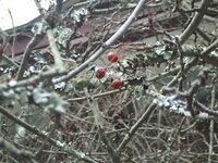 この赤い実をつけている木はなんでしょう。鎌倉妙本寺の祖師堂前にありました。またこの木や周辺の別な木にも白いカビのようなものが付いているのはなんでしょう。