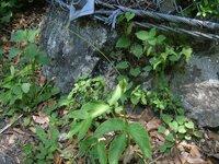 先日、写真のような植物(野草)を見つけました。 蛇の頭のような形で中からはおしべ?舌?茎?のようなものが40cmくらい伸びています。  自分で調べたところ【浦島草(ウラシマソウ)】に良く似ているような気はしますが色が違うので別の種類かもしれません。  お分かりの方、詳しい方がいらっしゃいましたら教えて頂きたいです。 宜しくお願いします。