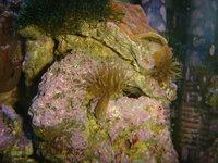 サンゴ水槽について ですが、画像の物は何でしょうか?ケヤリでしょうか?ライブロックやガラス面に見える物だけで10個程あります。 30センチキューブ水槽で生体はハナガサ×4、ミダレカメノコ、カクオオト...