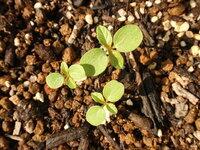 ノースポールらしき芽が出てきました。 千日紅の種を蒔いた場所から、おそらくノースポール(クリサンセマム)と思われる植物が発芽しました。 数週間前にその近くで、ノースポールの種を採種していたので、その時に風で飛ばされてしまったようです。 秋に蒔くつもりでしたので、発芽してくれたのは嬉しいのですが、暑い夏も耐えられるのでしょうか? 何か気をつけることがありましたら、教えてください。  ...