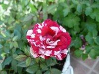 このミニバラの名前は? このミニバラの名前(種類)を教えて下さい  欲しかったミニバラでスーパーで198円でした*:.。..。  一季咲きか四季咲きかも調べたいので  宜しくお願いいたします。