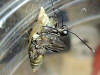 シロオビアゲハが羽化不全です。お腹が蛹の殻にくっついて取れない状態です。 このまま外に逃がすのはかわいそう過ぎるので、僕が責任を持って飼育したいのですが、蝶の成虫の飼育の仕方がよく分からないので教えてください!!