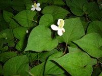 とても匂いのキツイ葉(雑草?) この葉はなんでしょうか? 草取りをしますけど、匂いがとてもキツイ!鼻が痛くなります。  何日もすれば、どんどん生えてきます(泣)  花壇の中なので除草剤と言うわけには...