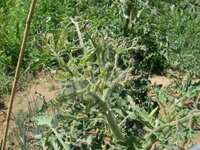 トマトの上の葉が枯れてますが、病気でしょうか? 1週間ほど前から枯れ始めました 露地栽培です。 隣のミニトマトも同じ症状がでています。 現在、160cmほどまで大きくなっています。 下の方には多くのトマトができています。 色々調べましたが、虫がついている感じではありません。