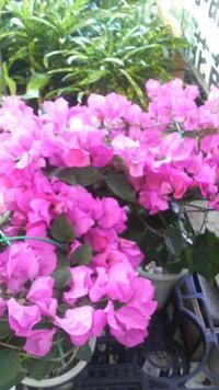 ブーゲンビリアの花は、多年草でしょうか?  多年草なら管理の方法を、教えてくださいませ。