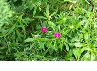 マツバボタンのようですが花が小さいです。栄養不良でしょうか? それとも小輪品種なのでしょうか?