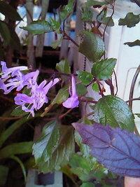 この花の名前を教えてください。 5年くらい前に、箱根の富士屋ホテルの温室で購入しました。写真のように花は紫系で 葉の裏側は濃い紫で赤紫蘇のように見えます。よろしくお願いします。