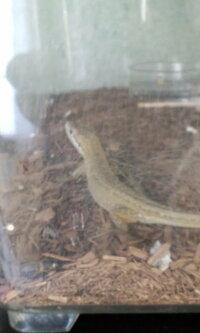 カナヘビの体色について 春の終わりから飼っているカナヘビですが、最近体色が薄くなってきました。 脱皮は4回ほどしていると思います。  室温ピーク28度、アベレージ25度、えさはコオロギ。  爬虫類は初めての飼育です。 冬の準備前にリリースしたほうが良いでしょうか? 冬眠のしかたは難しいですか?  子供は飼いつづけたいと一生懸命ですが、私は死んで欲しくないです。