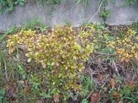 つつじ、さつきの葉の黄色化の対策方法がありますか? 校庭の周りの土手の、つつじ、さつきの葉が毎年9~10月頃になると黄ばんできます 病気、肥料不足、害虫等が原因でしょうか? 学校の運動場には、白線ラインを引く為に多量の石灰を使い、大雨が降ると校庭の表土が土手に流れ出してきています。 その為に土手の土の成分がアルカリ性過多の偏った成分になったしまっているのでしょうか? そのような場合対...
