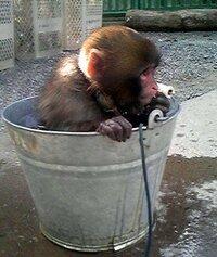 京都府福知山動物園のミワちゃん イノシシの背中から卒業したニホンザルのミワちゃん、 なんと清掃用バケツに入ってかくれてしまいました。  バケツにかくれた理由は何でしょう???