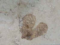 ビルの大理石で見つけた化石ですが、名前がわかりません。教えていただけると助かります。 同じ場所にアンモナイトやベレムナイトは豊富にありました。 他の類似物から二枚貝かそれに近い仲間と思うのですが、厚...
