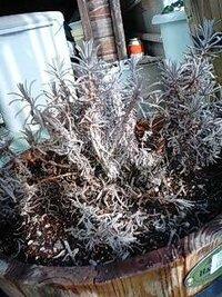 枯れかけたラベンダーの復活 ラベンダーの栽培について質問です  去年の秋に苗を買って鉢植えにしたラベンダーなのですが 冬までほとんど成長しなかったため剪定も何もしないまま越冬させました。  春になり...