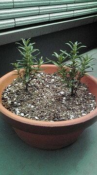 ローズマリーの葉が、黒っぽくなってきたのですがどうすればよいでしょうか? 2週間前にローズマリーを植えました。  最近気づいたのですが、葉が下から黒っぽく変色してきています。 これは枯れてきているの...