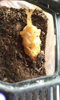 カブトムシの人工蛹室について  先ほど、土の上で蛹になってしまっているのを発見しました。 慌てて、人工蛹室について調べてトイレットペーパーの芯を用意したのですが深さはどの位にするべきなのでしょうか。 つのまで隠れるほうがいいのでしょうか。種類もわからないのですが縦でいいでしょうか。