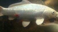 飼っている鯉が 鱗が赤くなっているんですが、これは何の病気かわかりません。  病気の名前と できれば 治し方も教えてください。