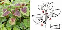 鉢植え栽培のヒユナ(中国野菜)を収穫したいのですが、採り方は葉だけを切るのでしょうか(図A)、それとも先端の茎から切り取る(図B)のでしょうか? 迷っています。宜しくお願いします---。 参考;ヒユナ(中国野菜)。別名:ツエンツアイ/バイアム/ヤサイヒユ/ジャワホウレンソウ、(中国名=莧菜、紅莧菜)