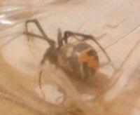 家でセアカゴケグモに似たクモを発見しました。ネットの画像とくらべてみると少し違う気がします。 このクモが何か教えて欲しいです。 異なる部分は背のオレンジの筋からななめに細い線が出ている点です