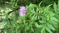 8/7野辺山高原で咲いていました・・アザミ・・・・葉っぱが特有のギザギザしゃないのですが・・この花の名前を教えてください。宜しくお願いします。