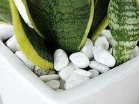 観葉植物の飾り石(化粧石)について 観葉植物の中で、室内用に仕立てて売られている鉢には、土の表面に飾り石(化粧石)やバークチップなどが敷いてあると思います。  しかし、水ハケ良く乾燥気味に育てる品種には、土が長時間保湿されてしまうため、本来、飾り石は無い方が良いように思います。 特にサンスベリア等は根元が腐ってしまったり、水やりの際に土の乾き具合が判りづらかったりもします。 私も最初...