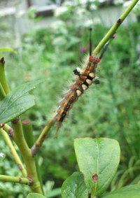 触角と尾のある、この毛虫は何ですか?写真では分かりにくいですが、4つの白っぽい丸は、背びれです。ブルベリーの茎にずっといます。1匹だけなので、放っておいても大丈夫でしょうか?