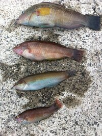 この魚の名前(種類)を教えて下さい! 写真の魚はそれぞれ正式な名前(種類)は何でしょうか?   兵庫県神戸市垂水区のアジュール舞子で釣ったベラ系の魚だと思います。   それぞれ色んな柄模様なのですが、どん...