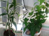 植物の種類についてです。 先日IKEAで購入した観葉植物なのですが、種類を教えて頂きたいです。 どちらにも、 ・直射日光の当たらない明るいところ ・土は常に湿らせておく ・月に一回の肥料 ・育てやすい植物 と書いてあります。宜しくお願い致しますm(_ _)m