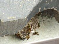 家の2階の瓦庇とベランダ屋根の間に蜂の巣を2つ発見しました。駆除した方が良いのでしょうか?現在足長蜂(?)がそれぞれに10匹以上動いていますが、駆除しようにも場所的に難しく対応に困っています。