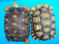 ケヅメリクガメの甲羅の色について・・・ 写真のように2種類みかけるんですが、 飼育環境によるものでしょうか? それとも生まれつき? 10cm以下のカメっ子たちは同じ色というか模様というか、 皆、同じに見...